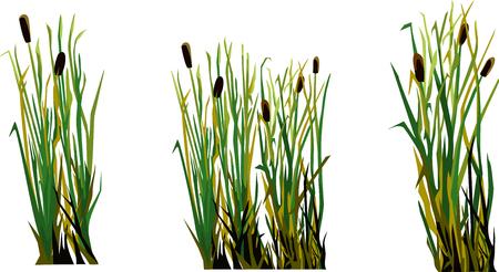 reed, cane, bulrush illustration Illustration