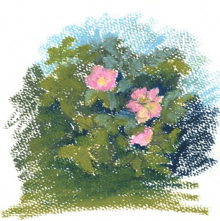 the wild rose Bush, wild rose flowers pastel paintings