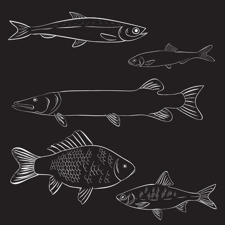 crucian: Hand drawn river fish on black background. Vector illustration