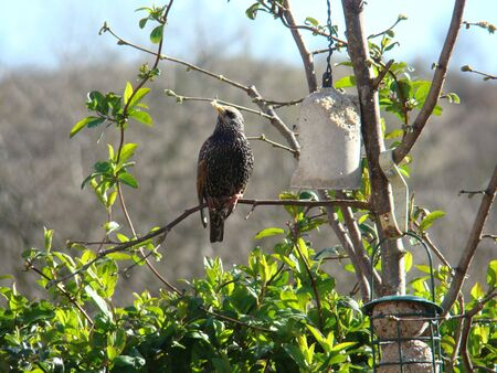 Starling,Sturnus vulgaris Stock Photo