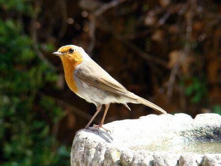 erithacus: European Robin,Erithacus rubecula
