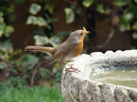 rubecula: European Robin,Erithacus rubecula