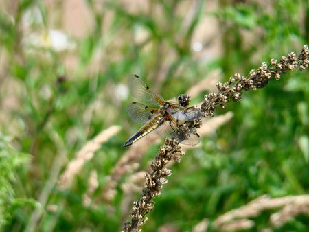 libellula: Four Spotted Chaser Dragonfly,libellula quadrimaculata
