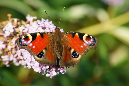 inachis: Peacock butterfly,Inachis io,on a buddleia bush