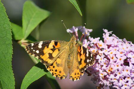 vanessa: Painted Lady butterfly,Vanessa cardui,on a buddleia bush Stock Photo