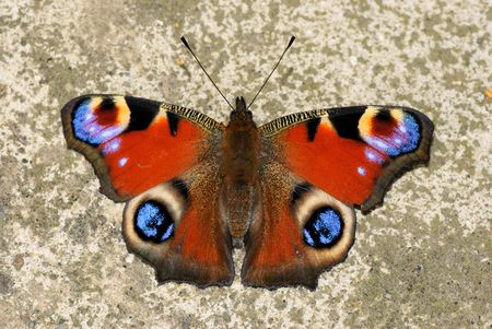 A beatiful Peacock Butterfly , Inachis io photo