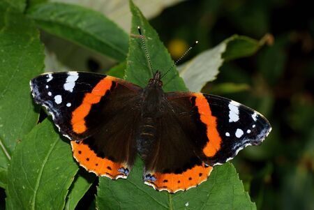 admiral: Red Admiral Butterfly, Vanessa atalanta, resting on a leaf