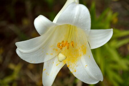 easter lily: White Easter lilies amongst garden background with raindrops on petals. Easter lily or lilium longiforum. Stock Photo