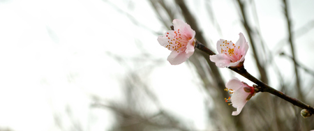 peach tree: Wide panorama background of peach tree branch in bloom