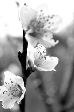 peach tree: Peach blossoms on a peach tree, picture taken in the rain.