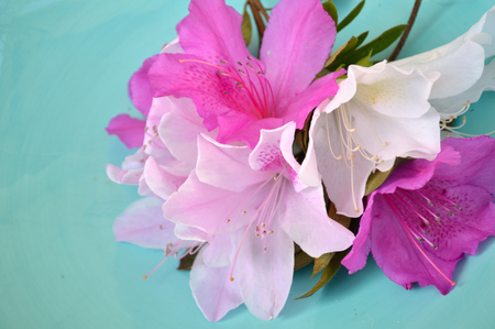 robins: Fushcia, pink, and white azalea blooms against a blue background. Stock Photo