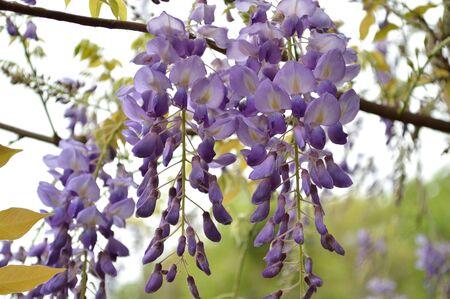 lavendar: Delicate lavendar petals of purple wisteria blooms hanging against a de-focused background.