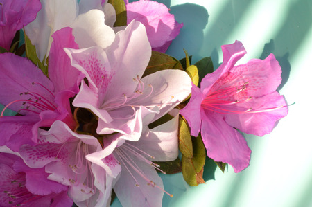 robins: Fushcia, pink, and white azalea blooms against a light robins blue background. Stock Photo