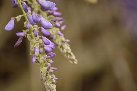 lavendar: Delicate lavendar petals of two purple wisteria blooms hanging from the left against a blurred brown and lavendar background. Stock Photo