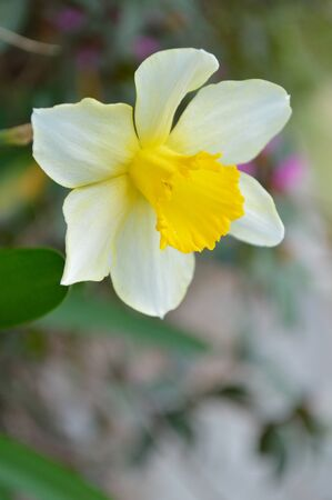 fuschia: Profile of a single yellow daffodil bloom against a spring green, and fuschia background. Stock Photo