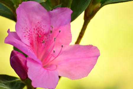 bloom: Azalea bloom