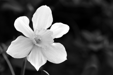 jonquil: Closeup of a daffodil in black and white. Daffodil also known as narcissus, daffadowndilly, and jonquil, scientific name:  Narcissus pseudonarcissus.