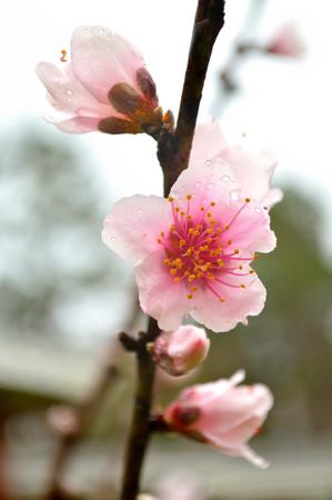 비에 복숭아 나무에 피는 복숭아 꽃 스톡 콘텐츠