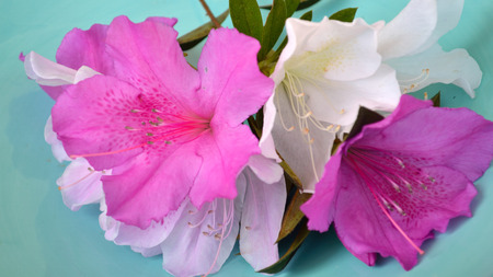fuschia: Fushcia, pink, and white azalea blooms against a robins egg blue background.Panorama, or widescreen size.