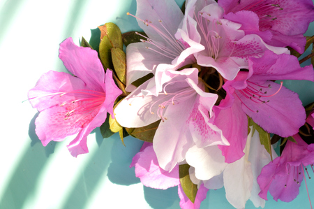 robins: Fushcia, pink, and white azalea blooms against a light blue background.