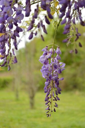 lavendar: Delicate lavendar petals of purple wisteria blooms hanging from the top against a blurred green foliage background.