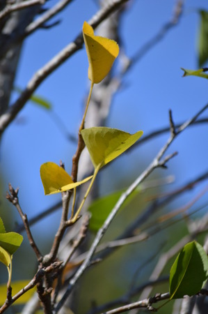 pear tree: Pear tree leaves in autumn