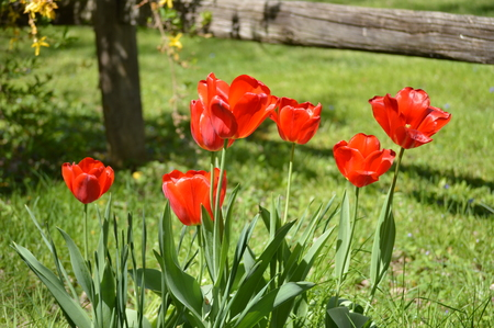 tulips in green grass: Red tulips in bright sun Stock Photo