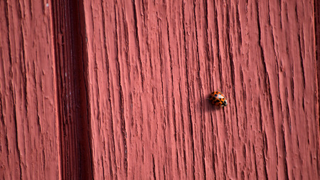 Red spotted ladybug crawling on faded and chipping painted brick red wooden slatted wall.