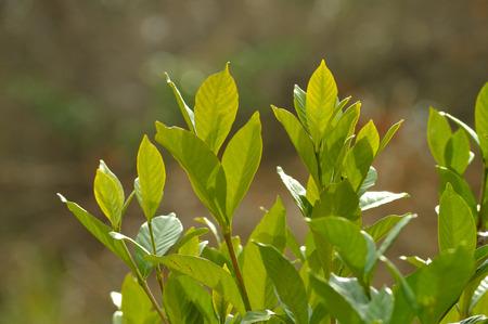 woodsy: Green gardenia bush closeup, against woodsy backdrop
