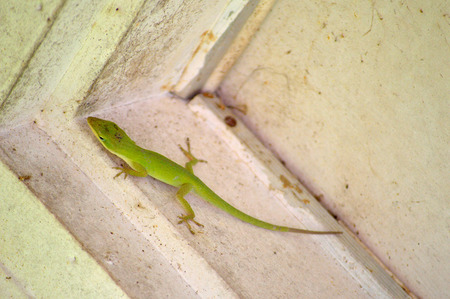 varmint: Green Carolina Anole (Anolis carolinensis) climbing the inside of a dirty white woodframe door jamb. Carolina anole, also know as green anole,american anole, red-throated anole and is often called the american chameleon . Pesky green lizard.