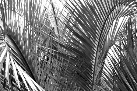fronds: Blacke and white closeup of the fronds of a palm tree in high contrast. Great, tropical background image.