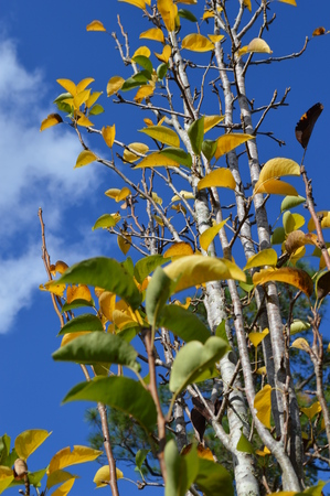 pear tree: Closeup of the yellow and green leaves of a pear tree in early Autumn. Bright sunny picture with vivid greens, yellows and blues.