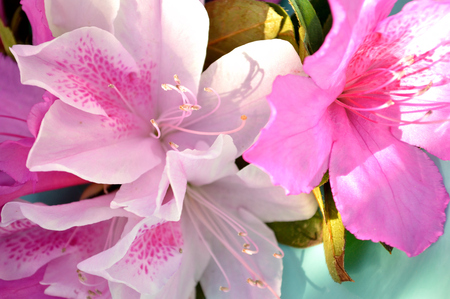 tropical shrub: Closeup of a light pink spotted azalea blooms and magenta blooms and leaves against a blurred floral background of azalea bushes. Azalea or rhododendron shrub blooming in tropical climate. Pretty nature flower closeup. Stock Photo