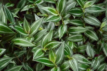 wandering: Lush foliage of Wandering Jew plant, scientific name Tradescantia zebrina a species of spiderwort. Stock Photo