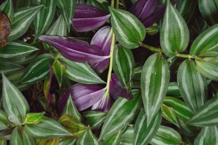 Lush foliage of Wandering Jew plant, scientific name Tradescantia zebrina a species of spiderwort. Фото со стока