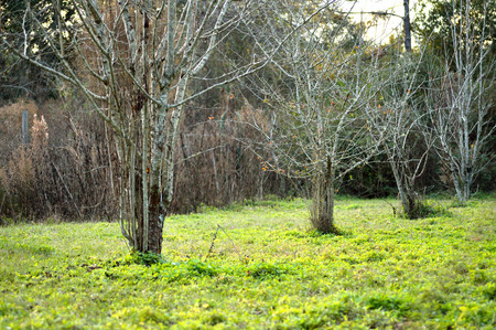 peach tree: Fruit trees in rural landscape, lined in a row - mayhaw tree, peach tree and pear tree at dusk.
