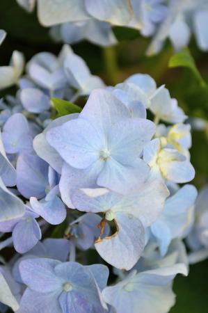 hydrangea macrophylla: Hydrangea macrophylla, or blue hydrangea blooms closeup in spring. Stock Photo
