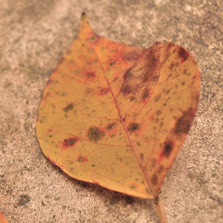 dreaminess: Dreamy faded square image of a yellow fall leaf against a concrete background. Short depth of field and blurred edges creating a sense of dreaminess and sentiment. Vintage color balance.