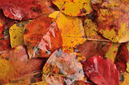 reds: Fall or Thanksgiving background - Autumn leaves in reds, oranges, yellows, and browns, wet from the rain. Stock Photo