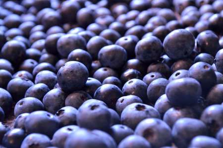 plump: Fresh certified organic blueberries in large pile together. Blueberry background, with plump ripe blueberries. Happy summer background. Stock Photo