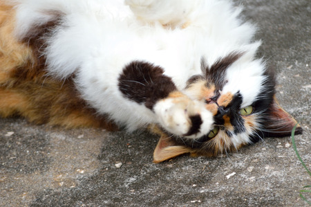 calico cat: Long-haired, female, calico cat playing and rolling on sidewalk. Stock Photo