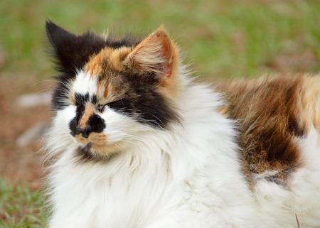 calico cat: Long-haired, female, calico cat laying in grassy yard in the late afternoon, in overcast weather. Female, domesticated pet cat. Fuzzy, black, white, and orange coloring, Cats eyes closed.