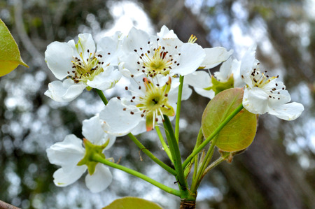 pear tree: Wild pear tree blossoms, blooming in a cluster in a woodsy backdrop. Flowers photographed in natural setting. Stock Photo