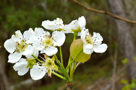 natural setting: Wild pear tree blossoms, blooming in a cluster in a woodsy backdrop. Flowers photographed in natural setting. Stock Photo