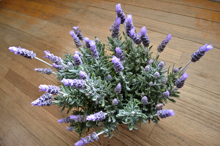 lavandula angustifolia: French lavender plant in full bloom, sitting on wood floor. Stock Photo