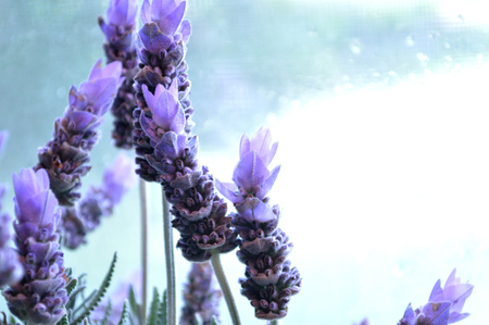lavandula angustifolia: Lavender blooms with bright wet window background. Flowers are backlit.