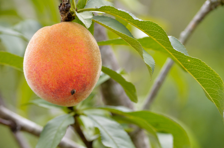 peach tree: Closeup shot of a peach on a peach tree in spring. Taken with short depth of field with copy space to the right. Ripe peach ready for harvest. Stock Photo