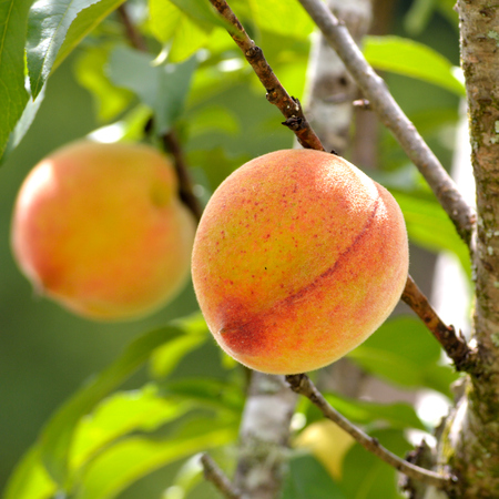 peach tree: Bright and happy square photo of a peaches on a peach tree in spring. Taken with short depth of field. Ripe peach ready for harvest. Stock Photo