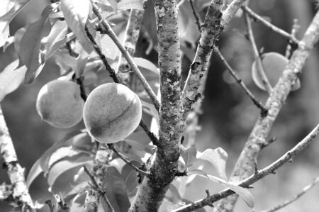 Black and white image of peaches on peach tree in spring. High contrast photo of ripe fruit. Modern and dramatic lighting.