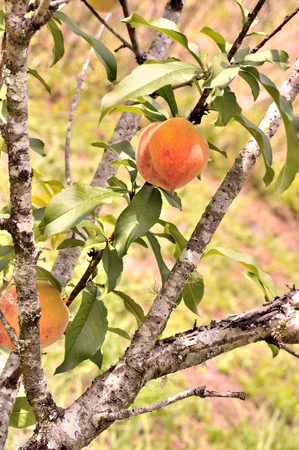 peach tree: Bright and happy photo of a peaches on a peach tree in spring. Taken with short depth of field . Ripe peach ready for harvest.